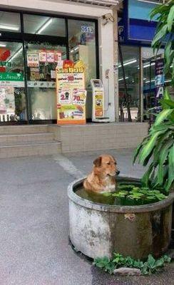 タイの犬の涼の取り方♪ババンババンバンバン~あ~ビバノンノン
